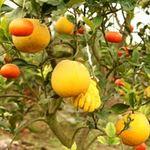 Tin tức trong ngày - Kỳ lạ 1 cây cho 5 loại quả khác nhau