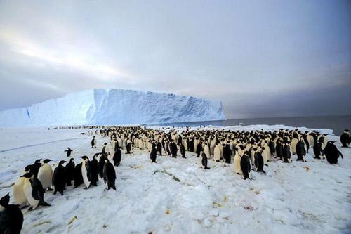 Quần thể chim cánh cụt hoàng đế lớn nhất TG - 1