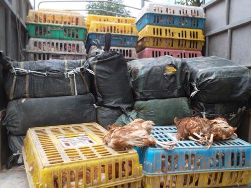 HN: Bắt 4 tấn nầm lợn, gà thải đang về Hà Vĩ - 2