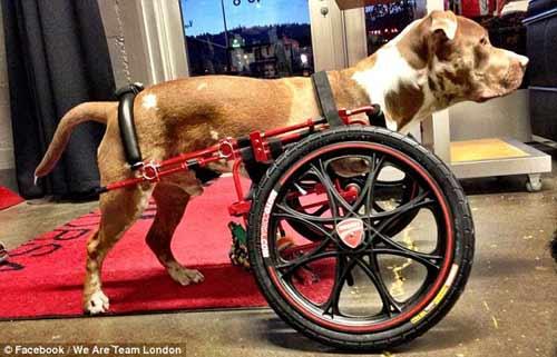 Mỹ: Chó đi bằng bánh xe dự phiên tòa xử chủ - 2