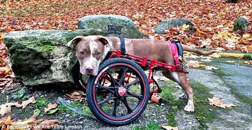 Mỹ: Chó đi bằng bánh xe dự phiên tòa xử chủ - 3