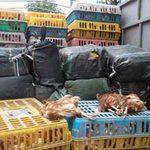 Tin tức trong ngày - HN: Bắt 4 tấn nầm lợn, gà thải đang về Hà Vĩ