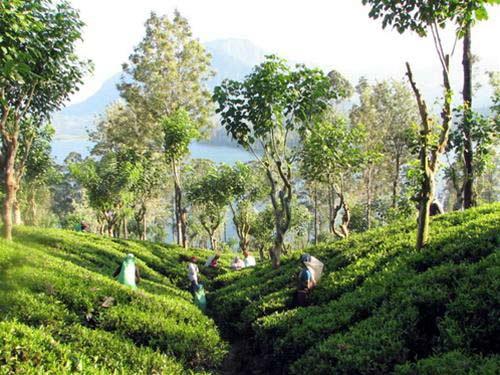 Sri Lanka: giọt lệ tươi xanh vùng Nam Á - 2