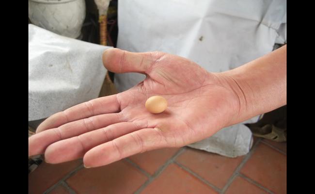 Con gà nhà anh Phạm Huy Tài ở Đội Cấn (Hà Nội) đẻ ra được những quả trứng tí hon, có trọng lượng 2,8 gram, dài 1,8 cm.
