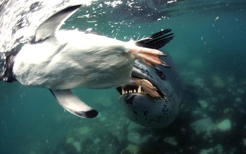 Ảnh đẹp: Đại bàng đầu trọc bắt cá trên sông - 4