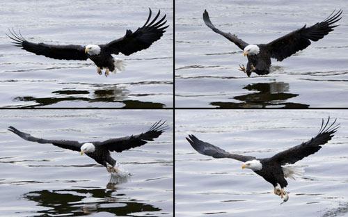 Ảnh đẹp: Đại bàng đầu trọc bắt cá trên sông - 7