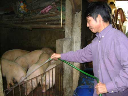 Cấm nuôi lợn, gà ở nội thị: Dân mất việc - 1