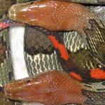 """Phi thường - kỳ quặc - Cận cảnh """"rắn thần"""" đỏ chót ở Sơn La"""
