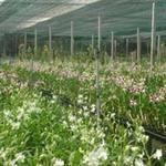 Thị trường - Tiêu dùng - Giá hoa lan dự kiến tăng 20%