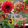 Những ban công rực rỡ sắc hoa