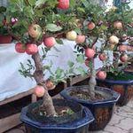 Thị trường - Tiêu dùng - 3 triệu đồng một cây táo cảnh Phúc Lộc