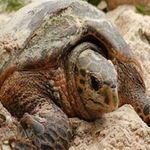 Phi thường - kỳ quặc - Cuộc sống tình dục kỳ lạ của loài rùa cực hiếm