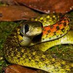 """Phi thường - kỳ quặc - Vẻ đẹp """"tử thần"""" của loài rắn bảy màu Việt Nam"""