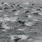 Tin tức trong ngày - 100.000 cá heo tụ tập bí ẩn ở bờ biển Mỹ