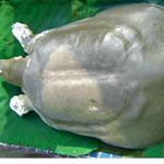 Tin tức trong ngày - Nghiên cứu đề xuất cụ Rùa làm bảo vật QG
