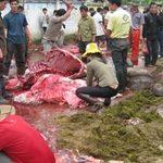 Tin tức trong ngày - Hãi hùng thịt trâu chọi Hải Lựu