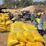 Thị trường - Tiêu dùng - Chậm mua tạm trữ, dân mất 500 đồng/kg lúa
