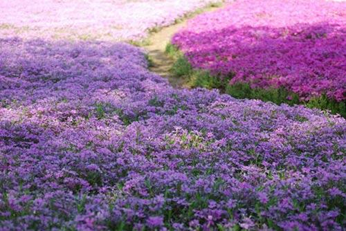 Thảm hoa tráng lệ ở Nhật - 2