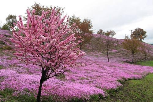 Thảm hoa tráng lệ ở Nhật - 3