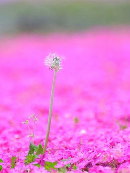 Thảm hoa tráng lệ ở Nhật - 6