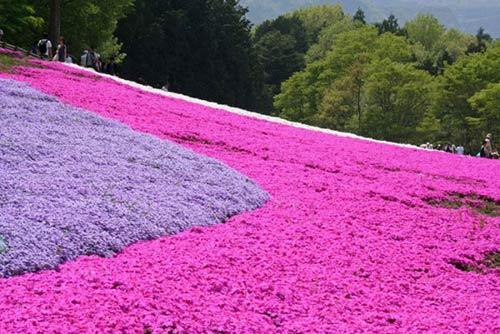 Thảm hoa tráng lệ ở Nhật - 7