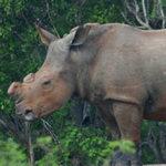 Tin tức trong ngày - Đề xuất hợp pháp hóa buôn bán sừng tê giác