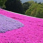 Du lịch - Thảm hoa tráng lệ ở Nhật