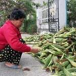 Thị trường - Tiêu dùng - Hội An: Nông dân lao đao vì tin đồn