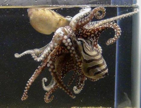 Khám phá đời sống tình dục kỳ dị của bạch tuộc - 1