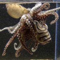 Khám phá đời sống tình dục kỳ dị của bạch tuộc