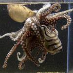 Phi thường - kỳ quặc - Khám phá đời sống tình dục kỳ dị của bạch tuộc