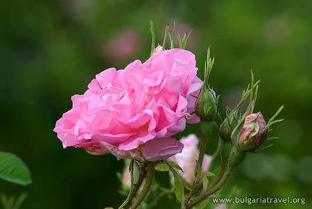Đắm say trong hương sắc 'xứ sở hoa hồng' - 2