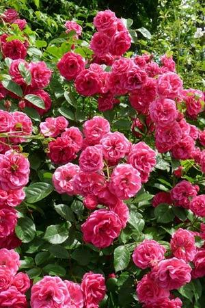 Đắm say trong hương sắc 'xứ sở hoa hồng' - 5