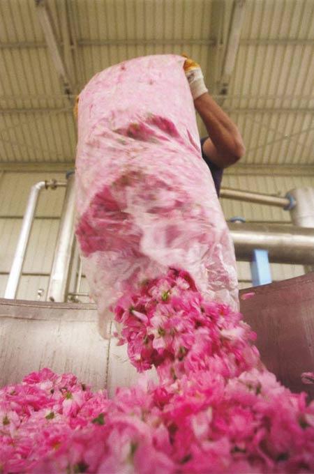 Đắm say trong hương sắc 'xứ sở hoa hồng' - 8