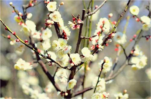 Ngắm hoa mơ giữa xứ hoa anh đào - 1