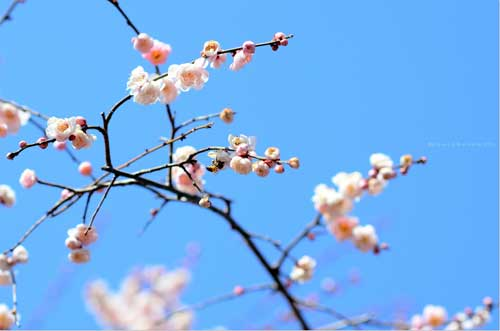 Ngắm hoa mơ giữa xứ hoa anh đào - 2