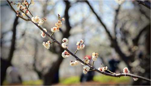Ngắm hoa mơ giữa xứ hoa anh đào - 3