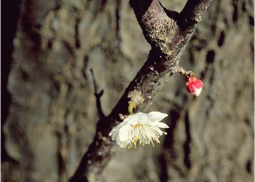 Ngắm hoa mơ giữa xứ hoa anh đào - 4