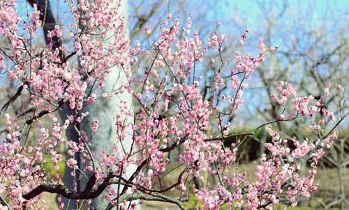 Ngắm hoa mơ giữa xứ hoa anh đào - 5