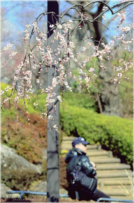 Ngắm hoa mơ giữa xứ hoa anh đào - 6