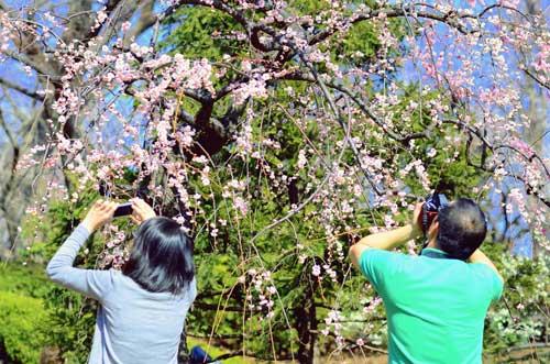 Ngắm hoa mơ giữa xứ hoa anh đào - 10