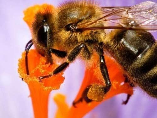 Nọc ong có thể ngăn chặn virus HIV - 1