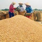 Thị trường - Tiêu dùng - Gạo tiếp tục xu thế giảm giá