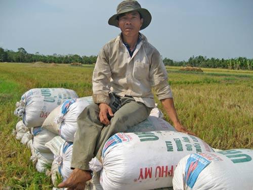 """Nhà nông """"khóc ròng"""" với lúa chất lượng cao - 1"""