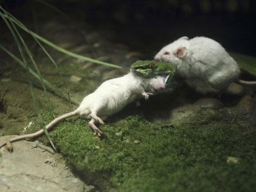 Chú chuột dũng cảm bóp cổ rắn cứu bạn - 1
