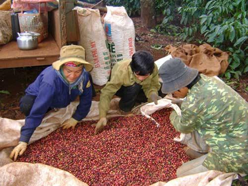 """VN là quốc gia hàng đầu về cà phê """"đích thực"""" - 1"""
