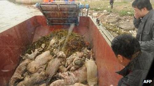TQ: 6.000 lợn chết trôi sông Hoàng Phố - 1