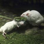 Tin tức trong ngày - Chú chuột dũng cảm bóp cổ rắn cứu bạn
