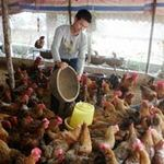 Thị trường - Tiêu dùng - Giá thức ăn chăn nuôi ở VN cao nhất TG?