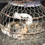 Sức khỏe đời sống - Bùng phát dịch bệnh từ mèo Trung Quốc nhập lậu?
